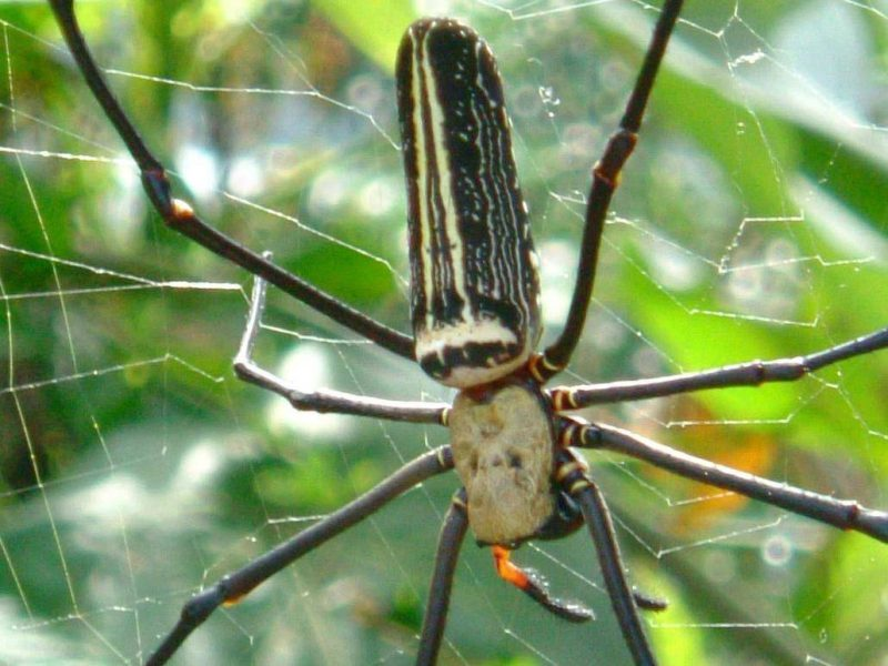 Taiwan Giant Wood Spider or Giant Golden Orb Weaver